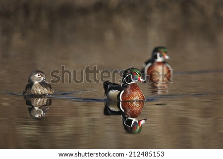 Two drake and one hen wood ducks - stock photo