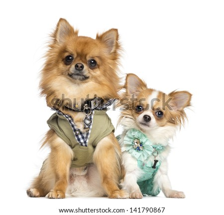 Two dressed up Chihuahuas sitting, 10 months and 2 years old, isolated on white - stock photo