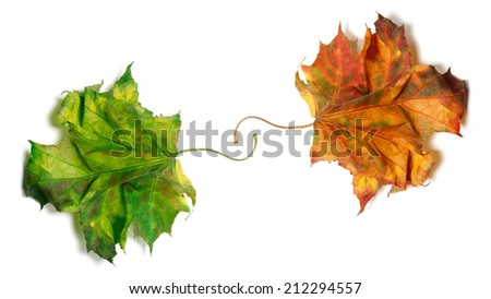 Two dry maple-leafs, orange and green. Isolated on white background - stock photo