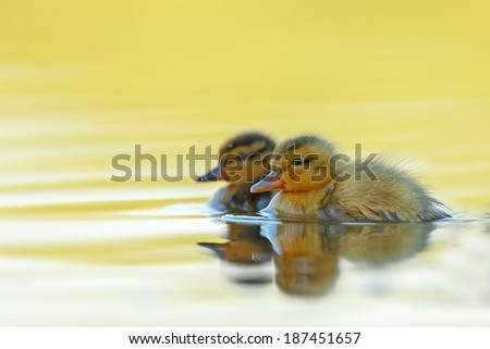 Two Ducklings - stock photo