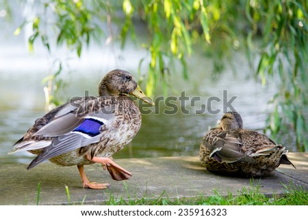 Two ducks in a park  - stock photo