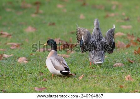 two ducks on a wet autumn grass - stock photo