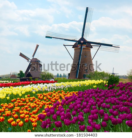 two dutch windmills over rows of tulips field , Netherlands - stock photo