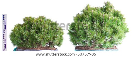 Two dwarf mountain pine in a pot isolated on white background - stock photo