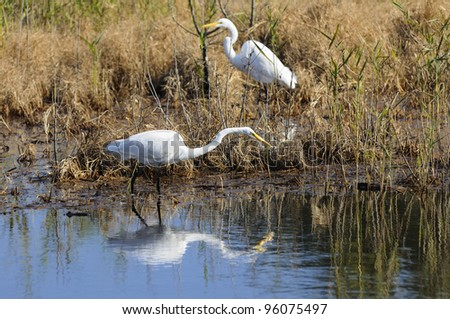 Two Egrets Hunting - stock photo