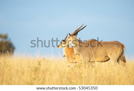 Two Eland (Taurotragus oryx), worlds largest antelope, standing in savannah in the nature reserve in South Africa - stock photo
