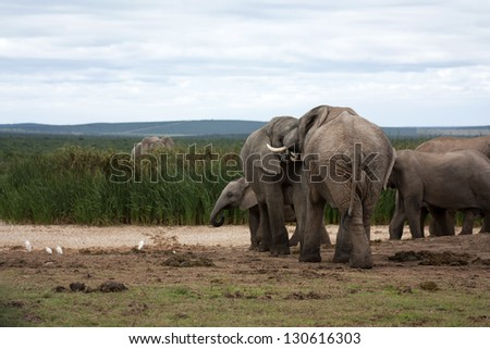 Two elephant bulls interacting with each other - stock photo