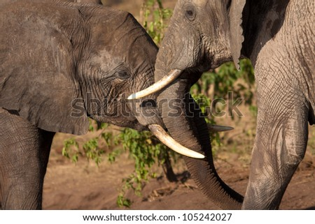 two elephants are playing - stock photo