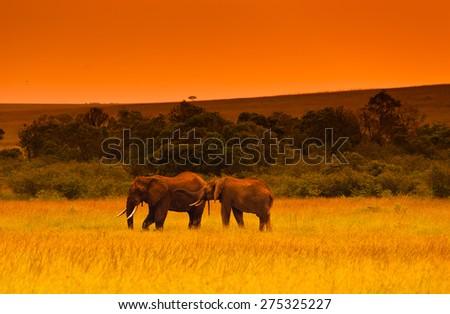 Two elephants at evening in savanna, Kenya, Africa (tone correction) - stock photo