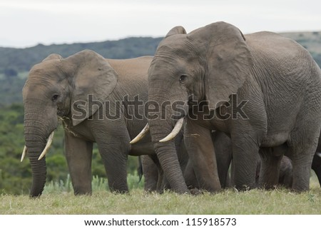 two elephants eating together on a plateau of green grass - stock photo