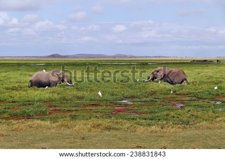 Two elephants in swamp in Amboseli National Park, Kenya - stock photo