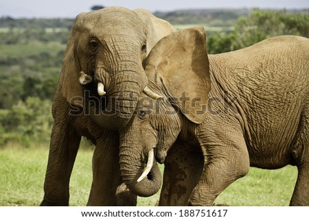 two elephants playing games at a water hole  - stock photo
