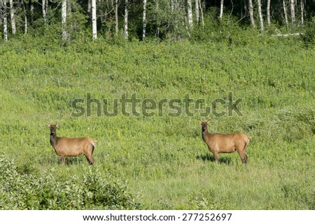 Two Elk (Cervus canadensis) standing on grass, Lake Audy Campground, Riding Mountain National Park, Manitoba, Canada - stock photo