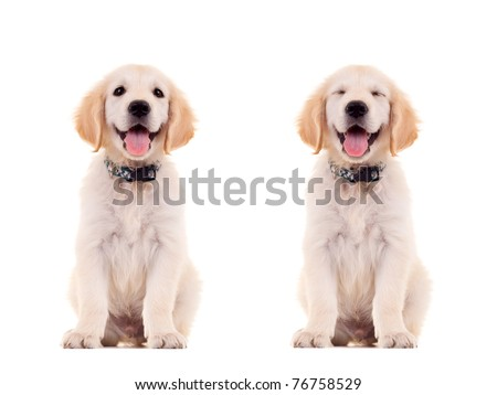 two emotional poses of a cute panting golden retriever puppy - stock photo