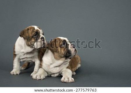 Two English Bulldog dogs over gray background looking  right - text space to the right . - stock photo