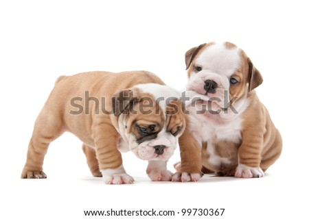 two English bulldog puppies playing in front of a white background - stock photo