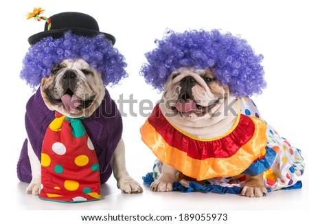 two english bulldog wearing clown costumes - stock photo