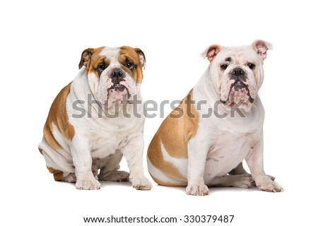 two English Bulldogs sitting on front of a white background - stock photo