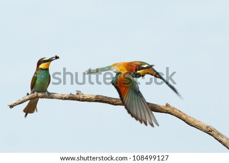 Two European  bee eaters, one fly, other perch on a branch - stock photo