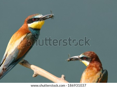 Two european bee-eaters perched on a twig, the left with an insect in bill - stock photo