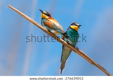 Two European bee-eaters sitting on a reed - stock photo