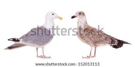 Two European Herring Gulls, (Larus argentatus), young and adult, isolated on the white background - stock photo
