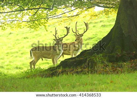 Two Fallow deer, Dama dama, selective focus and diffused background, during the Autumn rutting season, The Cotswolds, Gloucestershire, United Kingdom - stock photo