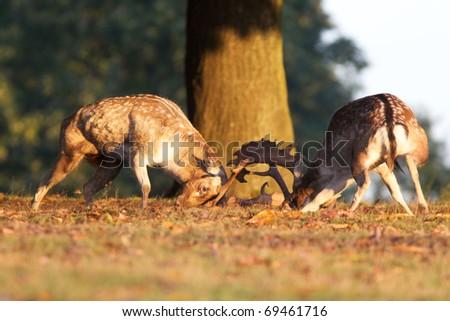 two fallow deer fighting - stock photo