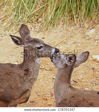 Two female deer lick and groom each other but appear to be kissing and cuddling - stock photo