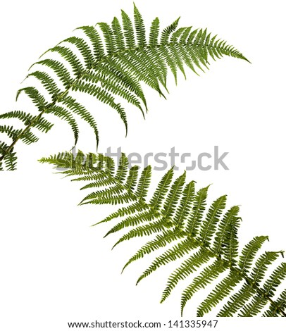 two fern leaf isolated on white background. Polypodi�³phyta. - stock photo
