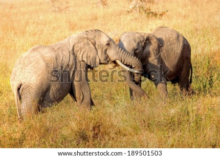 two fighting elephants in Africa - stock photo