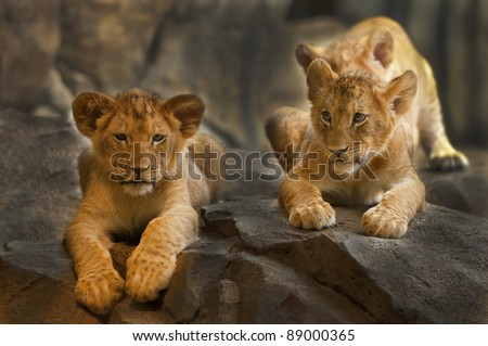 Two five month old Lion Cubs sitting on the rock. - stock photo