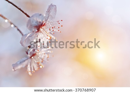 Two flowers of cherry in a sunlight in the spring. - stock photo