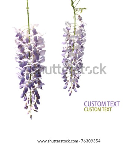 Two flowers of wisteria tree over pure white background. Copy space. - stock photo