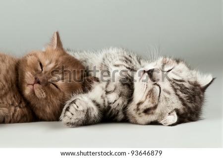 two fluffy gray beautiful kitten, breed scottish-fold,  lie portrait  on grey  background - stock photo