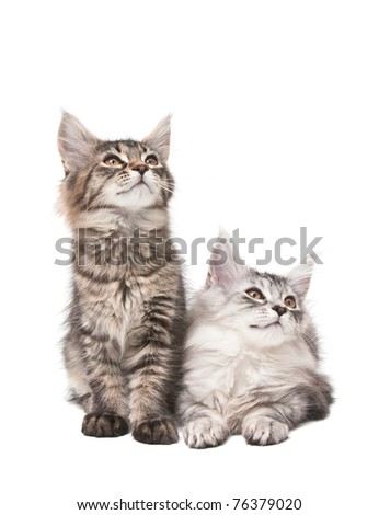 Two fluffy kittens isolated on white background - stock photo