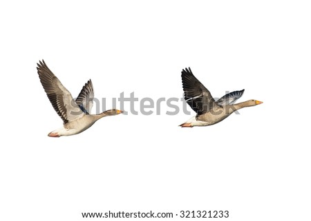 Two flying greylag geese isolated on white - stock photo