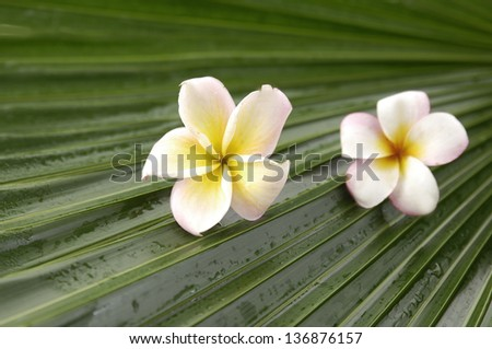 Two frangipani on palm leaf - stock photo