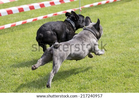 Two french bulldogs running on a lawn - stock photo
