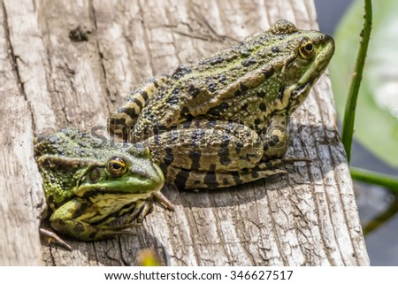 Two frogs on the bridge, sunny, summer - stock photo