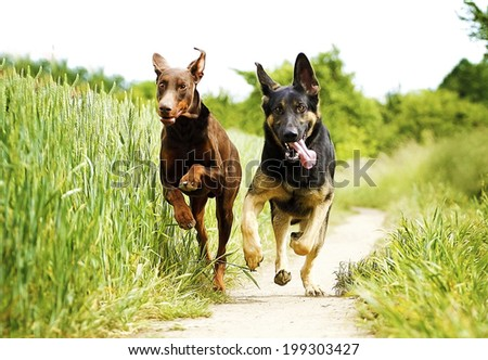 two fun german shepherd puppy and brown doberman pinscher dog running in nature. - stock photo