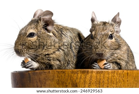 two funny degu rodents sitting in wooden bowl with nuts in paws - stock photo