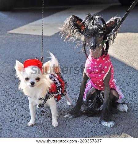 two funny small dogs in dress - stock photo