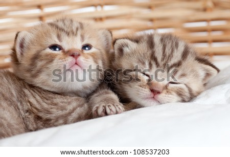 two funny small kittens in wicker basket - stock photo