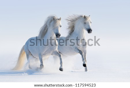Two galloping white horses on snow field - stock photo