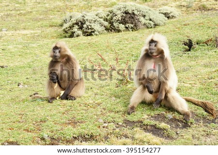 Two geladas near Chennek camp, Ethiopia - stock photo