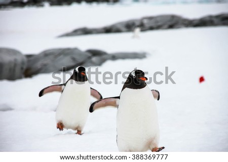 Two gentoo penguin or pygoscellis papua are walking funny way on the snow in Antarctica. - stock photo