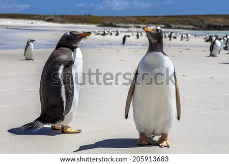 Two Gentoo Penguins at Falklands Islands. Photographed at North Pond, in the north coast of East Falkland. 25 december 2011 - stock photo