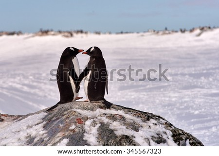 Two Gentoo Penguins (Pygoscelis Papua) in love in Antarctica standing on a rock with an icy white background looking at each other holding hands - stock photo