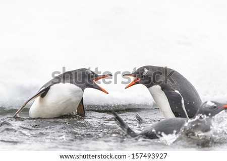Two Gentoo penguins (Pygoscelis papua) scream each other - stock photo